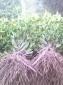 供应哪里买到最好桂花树苗就去湖北咸宁