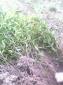 供应重庆出售桂花树苗,金桂苗,丹桂苗